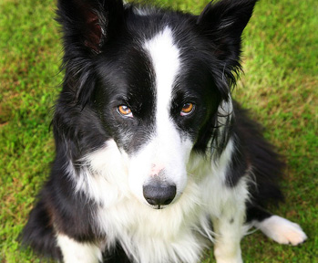Charlie is a collie cross.